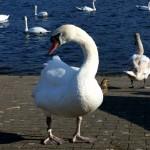 Bochum Swan Lake