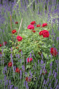 Roses surrounded by wild flowers