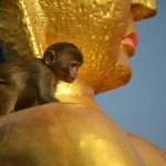 Monkeys are fed and worshipped around the Monkey Temple