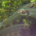 Awesomely creepy ghost catfish