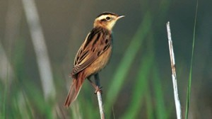 An Aquatic Warbler perches on a reed (photo by Paul Gale)