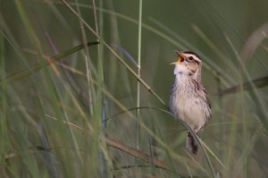 An Aquatic Warbler calls out through the grass. (© Mateusz Matysiak)
