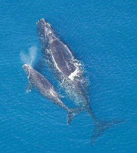 A North Atlantic Right Whale with her calf. (photo: Florida Fish and Wildlife Conservation Commission/NOAA)