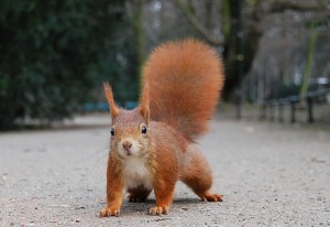 Red Squirrels are tree squirrels in competition with nonnative Eastern Grey Squirrels. (Source: Wikipedia)