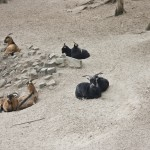Goats in Bürgerpark Pankow