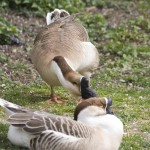 The Duck-Caress 101