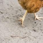 """""""Chicken Legs"""""""