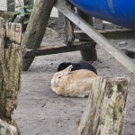 Rabbit Nap