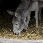 Donkey Peacefulness