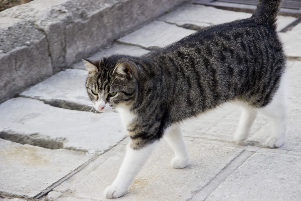"Istanbul is a city of many things. It is, however, above all else – the capital of cats. Portrayed here is one of the ""domestic"" cats around Hagia Sophia, fed and taken care of by the site's staff. Photo: Inasa Bibic"